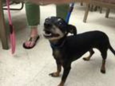 Adopt Lupe a Miniature Pinscher, Mixed Breed
