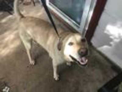 Adopt Greta a Tan/Yellow/Fawn Labrador Retriever / Mixed dog in Fort Worth
