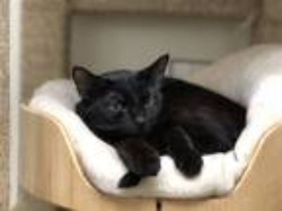 Adopt Donut a Domestic Shorthair / Mixed cat in Birmingham, AL (25341394)