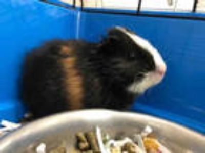 Adopt LUEY a Black Guinea Pig / Mixed small animal in Upland, CA (25556726)