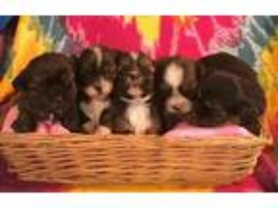 Ckc Shorkie Puppies All Females 750.00