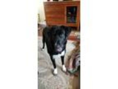 Adopt Tower a Border Collie