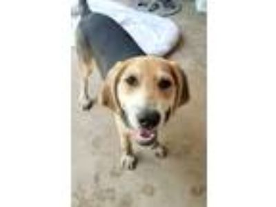 Adopt Coop a American Foxhound, Treeing Walker Coonhound