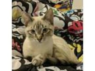 Adopt Chancey a Siamese, Domestic Short Hair