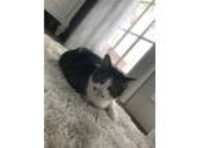 Adopt Daisy a Gray, Blue or Silver Tabby Domestic Mediumhair / Mixed cat in Palm