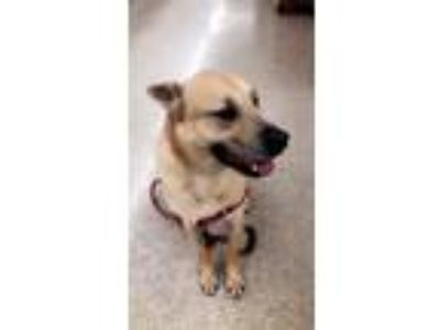 Adopt Anthony a Tan/Yellow/Fawn - with White German Shepherd Dog / Mixed dog in