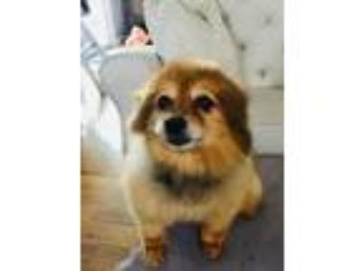 Adopt Carly a Red/Golden/Orange/Chestnut Pomeranian / Mixed dog in Studio City