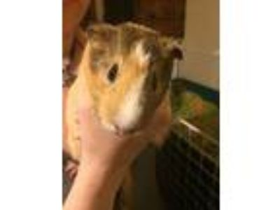 Adopt Jaime a Guinea Pig small animal in Oklahoma City, OK (21779081)