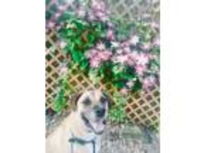 Adopt Cody a Tan/Yellow/Fawn - with Black Labrador Retriever / Shepherd (Unknown