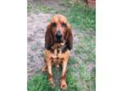 Adopt Fred a Bloodhound