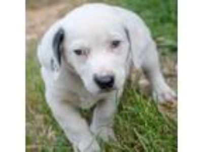 Adopt Dakota a Hound, Cattle Dog