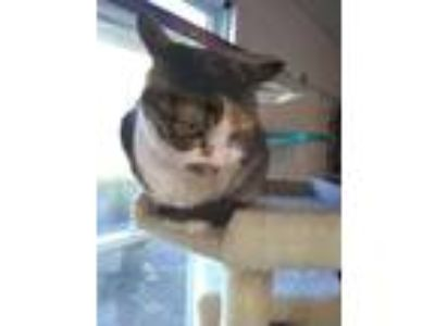 Adopt Angie a All Black Domestic Shorthair / Domestic Shorthair / Mixed cat in
