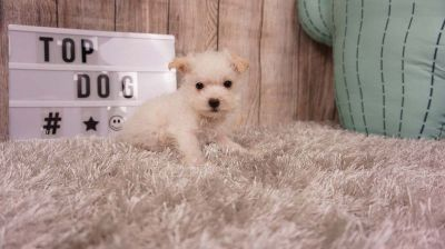Ross the Maltipoo ($400)