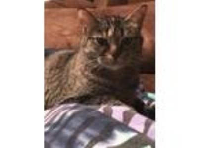 Adopt Shelly a Domestic Short Hair, Tabby
