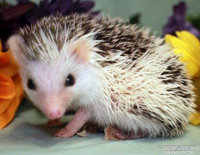 Wholesale Hedgehog Prices!