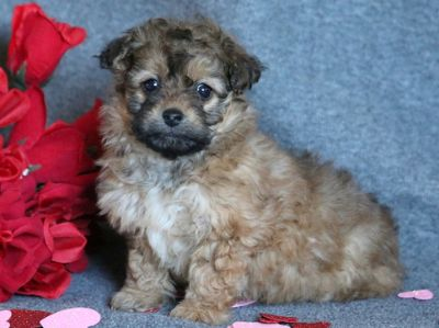 Lhasa-Poo PUPPY FOR SALE ADN-64374 - Lhasapoo Puppy for Sale