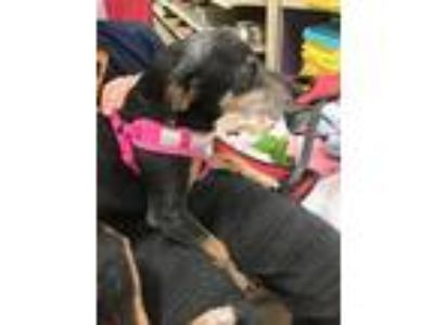 Adopt Dolly a Black - with Tan, Yellow or Fawn Terrier (Unknown Type