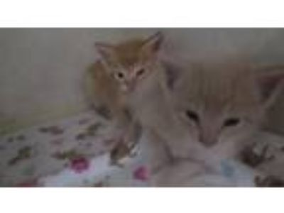 Adopt Orange Crush Kids a Domestic Shorthair / Mixed cat in Homer Glen