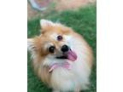 Adopt Marshmallow a Red/Golden/Orange/Chestnut - with White Pomeranian / Mixed