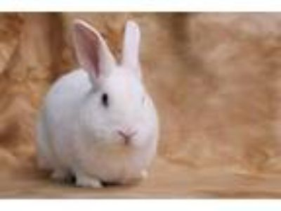 Adopt Silkey a Californian / Mixed (short coat) rabbit in Scotts Valley