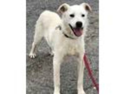 Adopt Mack a White Terrier (Unknown Type, Small) / Mixed dog in Bloomingdale