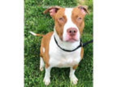 Adopt BRAYDEN a Tan/Yellow/Fawn - with White American Pit Bull Terrier / Mixed