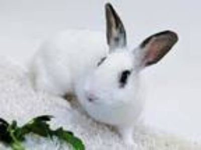 Adopt Willow a White American / American / Mixed rabbit in Dayton, OH (24518901)