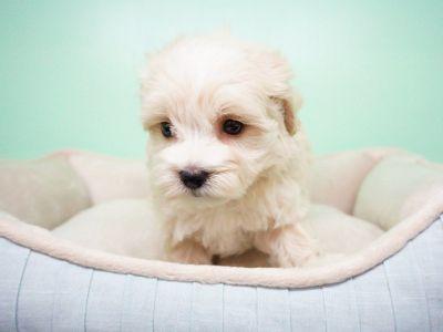 Maltipoo Puppy – Female- Dion ($1,399)