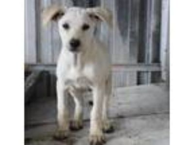 Adopt Adam a White Retriever (Unknown Type) / Mixed dog in Beaverton