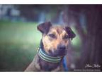 Adopt Ruxin a Tan/Yellow/Fawn Redbone Coonhound / Rottweiler / Mixed dog in