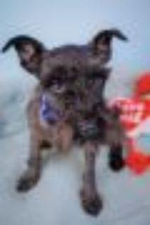 Pippin Miniature Schnauzer - Shih Tzu Dog
