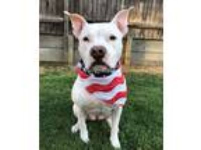Adopt Kylie-ADOPTION FEE SPONSORED a Pit Bull Terrier