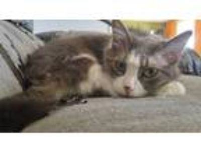 Adopt Tempy a Gray or Blue (Mostly) Domestic Mediumhair / Mixed cat in