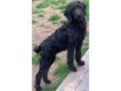 Adopt SIERRA a Black Labradoodle / Mixed dog in Rossford, OH (25328915)