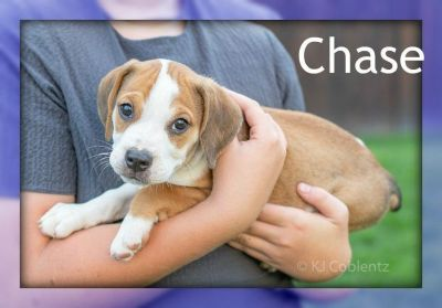Chase: Male Beabull Puppy