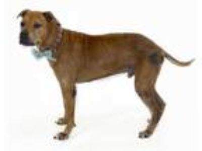 Adopt ODIE a Tan/Yellow/Fawn - with White American Pit Bull Terrier / Mixed dog