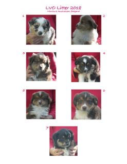 Miniature Australian Shepherd PUPPY FOR SALE ADN-74931 - Miniature Australian Shepherd Puppies
