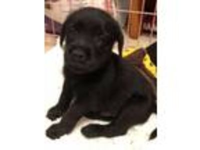 Adopt PUPPIES a Shepherd, Labrador Retriever
