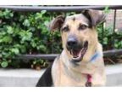 Adopt Kai a Black German Shepherd Dog / Labrador Retriever / Mixed dog in