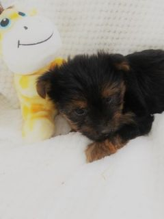 Yorkshire Terrier PUPPY FOR SALE ADN-76019 - Yorkie Puppies