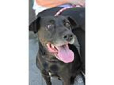 Adopt Peaches a Black Labrador Retriever / Mixed dog in Anza, CA (25802215)