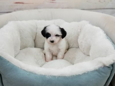 Shipoo Puppy- Female- Sunday ($1,299)