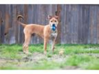 Adopt Dave a Brown/Chocolate - with Black Pit Bull Terrier dog in Rathdrum