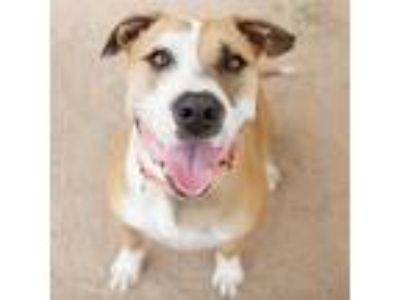 Adopt Sparky a Pit Bull Terrier / Mixed dog in Austin, TX (18743084)