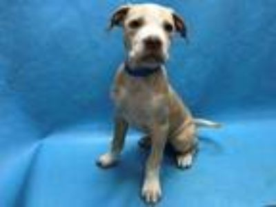 Adopt Hawkeye a Tan/Yellow/Fawn American Pit Bull Terrier / Mixed dog in Golden