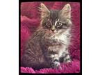 Adopt ASPEN - FLUFFY AND SWEET!! a Brown Tabby Maine Coon (long coat) cat in