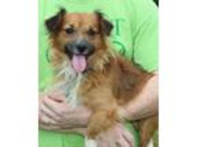Adopt Rosco 30865 a Brown/Chocolate - with White Dachshund / Pomeranian / Mixed