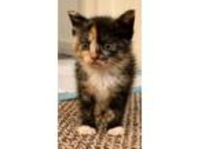 Adopt Tudi a Domestic Short Hair, Calico
