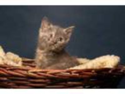 Adopt Riviera a Gray or Blue Domestic Shorthair / Domestic Shorthair / Mixed cat