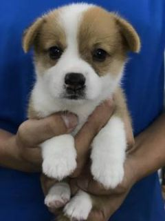 Pembroke Welsh Corgi PUPPY FOR SALE ADN-100707 - Pembroke Welsh Corgi puppy for SF LA SEA NY